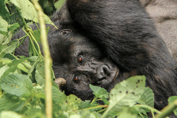 The Mountain Gorillas of Bwindi